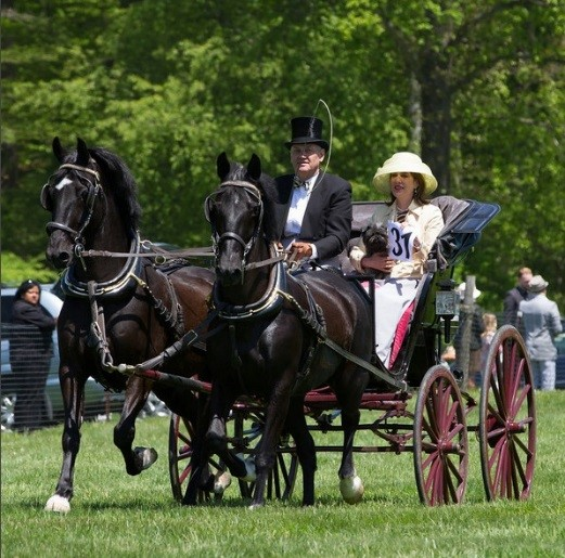 The turnout for the carriage, the horses and harness and for the whip and passengers is strict according to the type of driving event being undertaken. While competition driving requires modern lightweight carriages for fast maneuvering around obstacles and helmet and body protection for participants, pleasure driving, on the other hand, such as the invitational Big Bend Drive through the Brandywine Valley to the Winterthur Point-to-Point Races, as shown in the photo, requires antique or traditional style carriages and formal dress with stylish hats, rather than helmets that would distract from the historical integrity expected from the event.